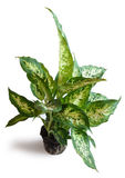 Dieffenbachia Stock Photo