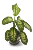 Dieffenbachia. House plant over white with clipping path.   Dumb Cane. Dumb Plant Royalty Free Stock Photos