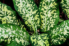 Dieffenbachia Arkivbilder