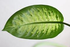 Dieffenbachia amoena leaf Stock Image