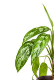 Dieffenbachia in flowerpot Stock Photo