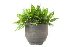 Dieffenbachia in flowerpot Stock Images