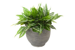 Dieffenbachia in flowerpot Royalty Free Stock Image