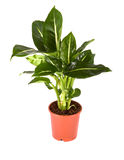 Dieffenbachia-grüne Magie Lizenzfreie Stockfotos