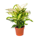 Dieffenbachia isolated Royalty Free Stock Photos