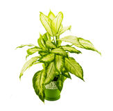 Dieffenbachia grows in flowerpot isolated on white Royalty Free Stock Image