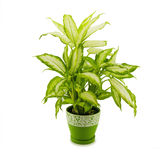 Dieffenbachia grows in flowerpot isolated on white Royalty Free Stock Photography