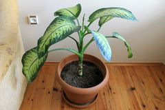Dieffenbachia houseplant boolshimi in a pot Royalty Free Stock Photography