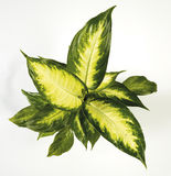 Dieffenbachia houseplant. Green and yellow Stock Photography
