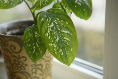 Dieffenbachia houseplant near window. Royalty Free Stock Photos