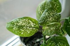 Dieffenbachia houseplant near window. Stock Photos