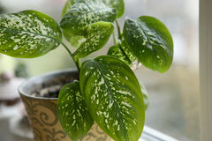 Dieffenbachia houseplant near window. Stock Photography