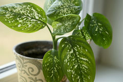 Dieffenbachia houseplant near window. Stock Photo