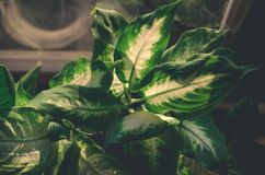 Dieffenbachia houseplant in a window sill royalty free stock image