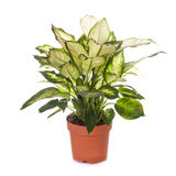 Dieffenbachia isolated Royalty Free Stock Images