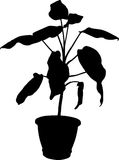 Dieffenbachia la pianta in vaso Immagini Stock