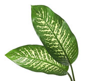 Dieffenbachia leaf dumb cane, Green leaves containing white spots and flecks, Tropical foliage isolated on white background. With clipping path royalty free stock images