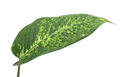 Dieffenbachia leaf, isolated Stock Image