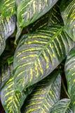 Dieffenbachia leaves detail, fresh green plant.  Stock Photos