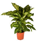 Dieffenbachia Mars Photo stock
