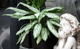 Dieffenbachia. Is a nature tropical flowering plants.It is widely cultivated as an ornamental, especially as a house plant, and has become naturalized on a few royalty free stock photography