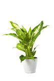 Dieffenbachia overig compacta Stock Photo