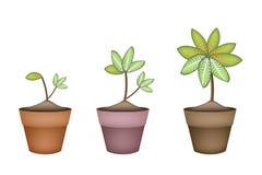 Dieffenbachia Picta Marianne Plant dans le pot en céramique Image libre de droits