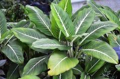 Dieffenbachia Plant Stock Photos
