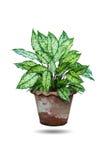 Dieffenbachia plant. Stock Photo