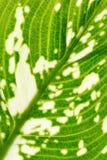 Dieffenbachia seguine Royalty Free Stock Images