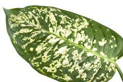 Dieffenbachia van het blad Stock Afbeelding