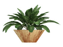 Dieffenbachia with variegated leaves Stock Images