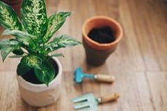 Dieffenbachiaanlage eingemacht mit neuem Boden in neuen modernen Topf und im Garten arbeitende stilvolle Werkzeuge und alte Tonge lizenzfreies stockfoto