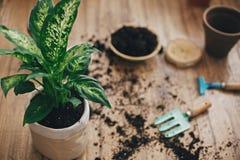 Dieffenbachiaanlage eingemacht mit neuem Boden in neuen modernen Topf und im Garten arbeitende stilvolle Werkzeuge, Boden, Tongef lizenzfreie stockfotos