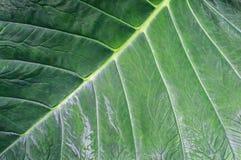 Dieffenbachiabladeren Stock Foto's