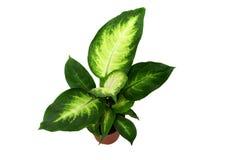 DieffenbachiaHouseplant Lizenzfreies Stockbild