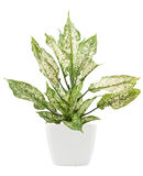 Dieffenbachie lat dieffenbachia green plant in flower pot Stock Photo