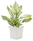 Dieffenbachie lat dieffenbachia green plant in flower pot Royalty Free Stock Photography