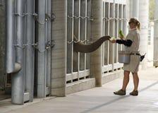 diego elefant som matar den san zooen Arkivbilder
