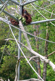 diego orangutansan zoo Royaltyfria Foton
