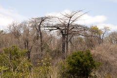 Diego Suarez Baobab, Adansonia suarezensis, Ankarana-Reservierung, Madagaskar Stockbilder