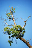 Dieing Tree. Old tree clinging to life Royalty Free Stock Photos