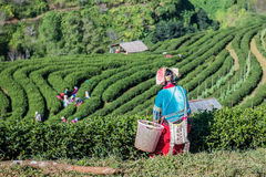 绿茶dield 免版税库存照片