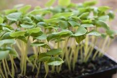 Dienblad van Basil Seedlings Stock Afbeelding