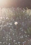 Diente de león único en fondo de la flor Foto de archivo