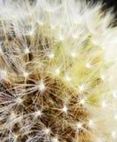 Diente de león Imagen de archivo libre de regalías
