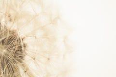 diente de león Imagenes de archivo