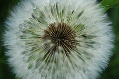 diente de león Imagen de archivo