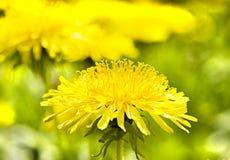 Diente de león amarillo foto de archivo libre de regalías