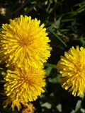 Diente de león amarillo Fotos de archivo